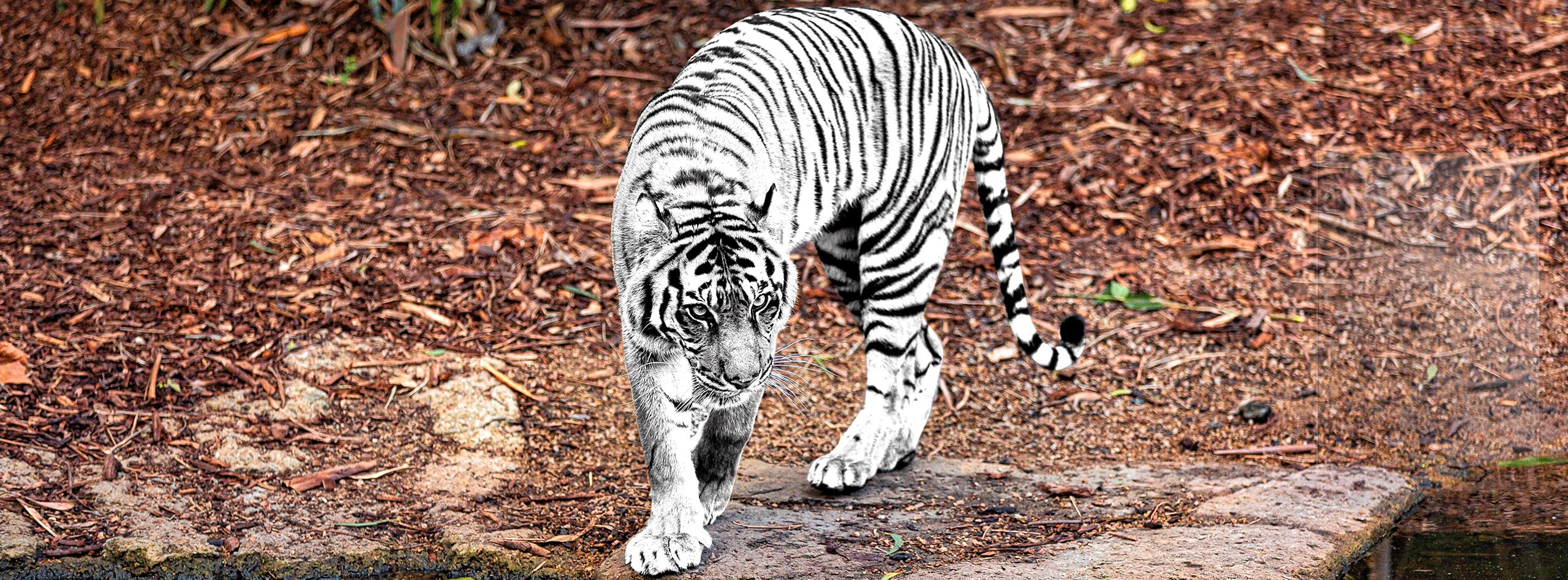 Anti-culture в рекламе, или Почему слухи о том, что тигр копипастнул окрас у зебры, — неправда
