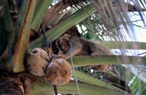 Британские супермаркеты перестанут продавать кокосы, собранные обезьянами